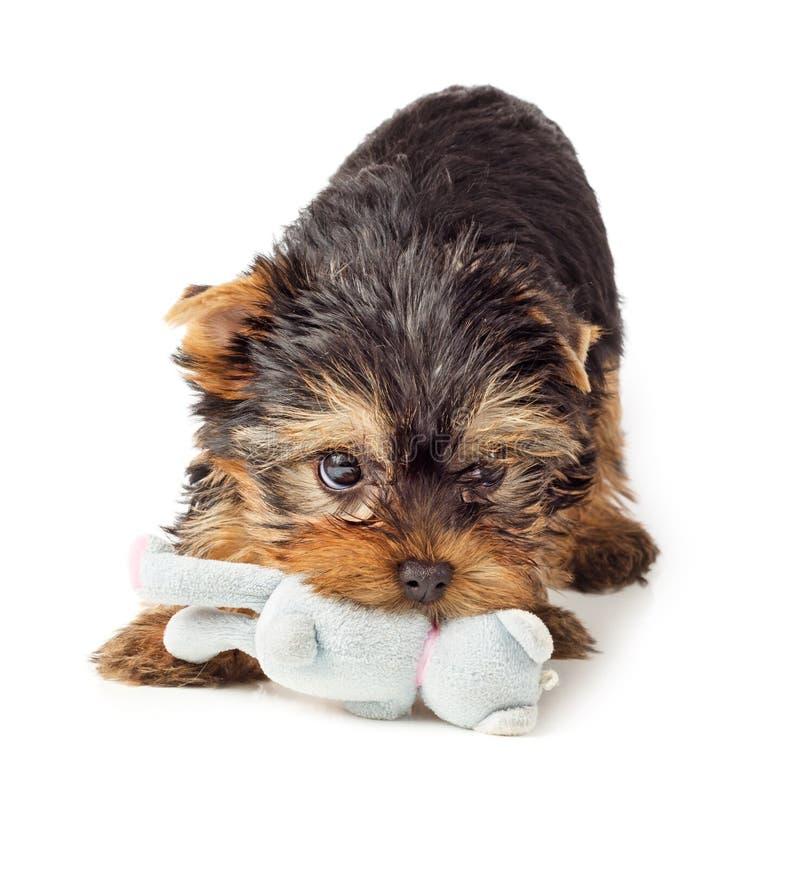 Chiot de Yorkshire Terrier jouant avec le jouet photos libres de droits