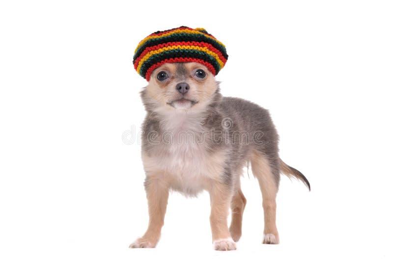 Chiot drôle de chiwawa dans le chapeau rastafarian images libres de droits