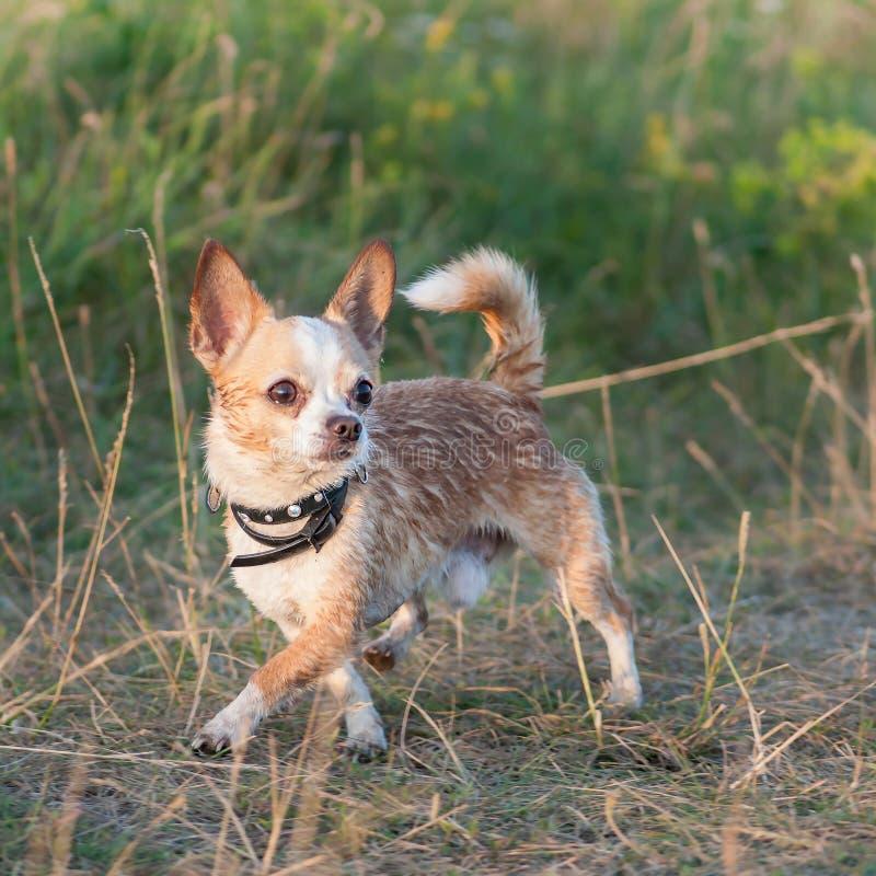 Chiot drôle de chiwawa sur l'herbe photo stock