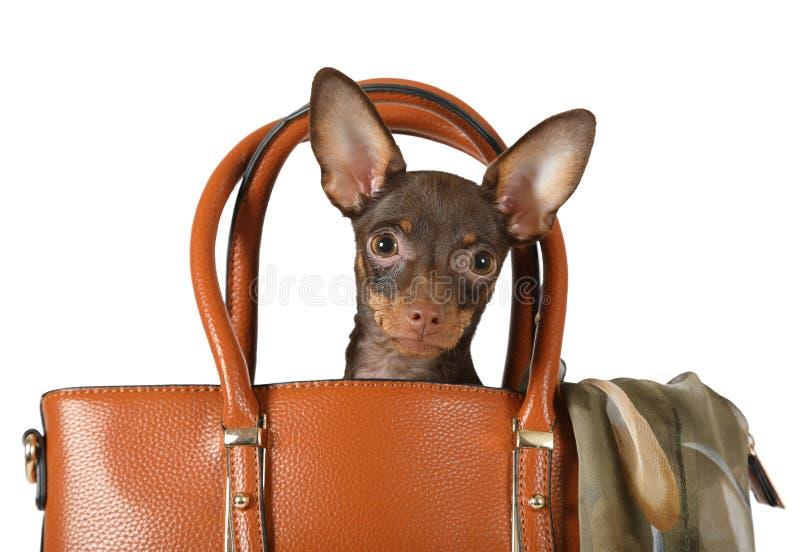 Chiot drôle de Terrier de jouet se reposant dans un sac à main de femmes image stock