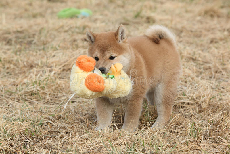 Chiot drôle étonnant d'inu de Shiba photos libres de droits