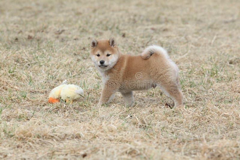Chiot drôle étonnant d'inu de Shiba photos stock