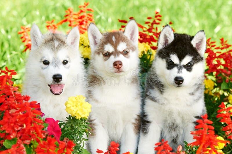 Chiot du chien de traîneau trois sibérien sur l'herbe photographie stock