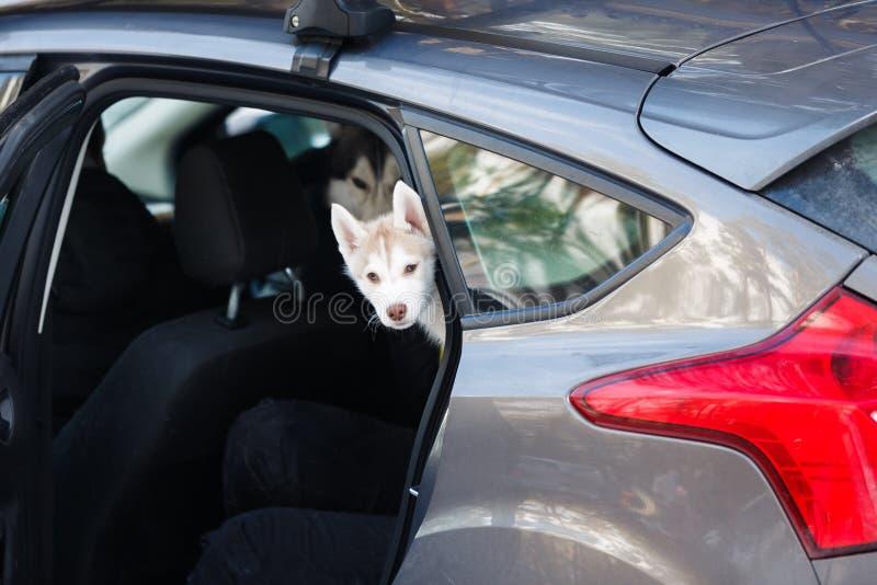 Chiot enroué dans la voiture image stock