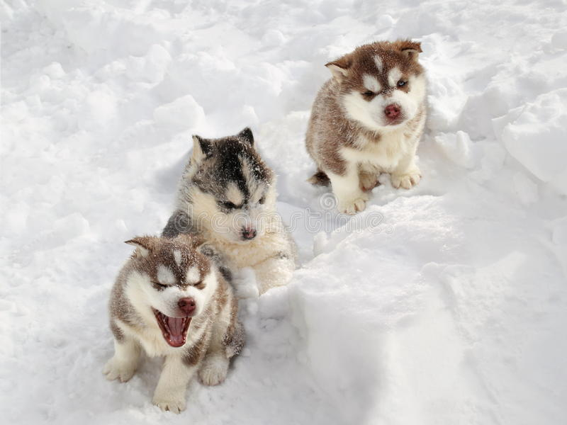 Chiot enroué dans la neige photographie stock