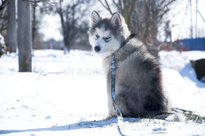 Chiot enroué, gris, SIBÉRIEN, jeu, chien, yeux bleus, pelucheux image libre de droits