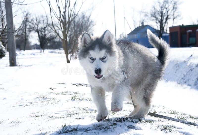Chiot enroué, gris, SIBÉRIEN, jeu, chien, yeux bleus, pelucheux photographie stock libre de droits