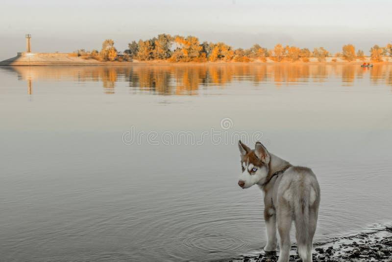 Chiot enroué marchant sur la plage de rivière photos libres de droits