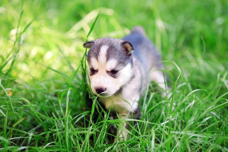 Chiot enroué sibérien sur une herbe verte photographie stock