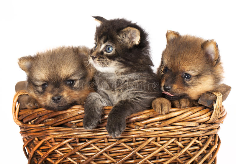 Chiot et chaton de Spitz photos libres de droits