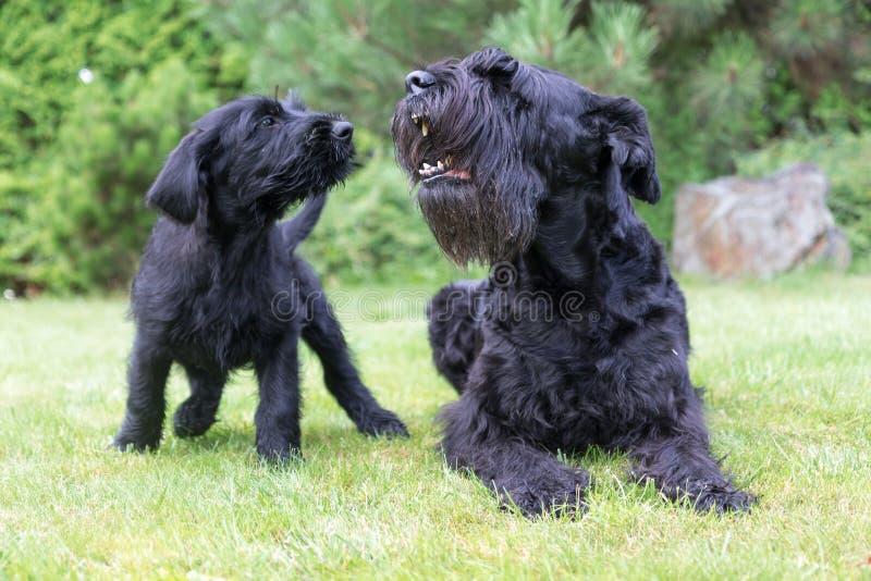Chiot et chien adulte d'écorcement de chien noir géant de Schnauzer photographie stock libre de droits