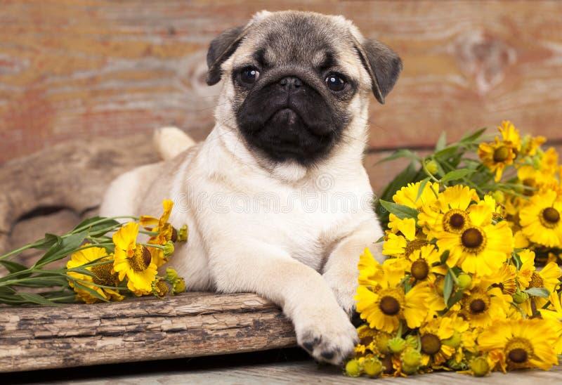 Chiot et fleurs de roquet photo stock