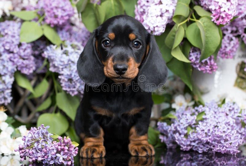 Chiot et fleurs de teckel photographie stock