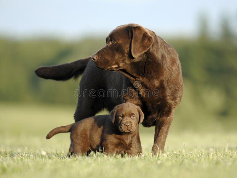 Chiot et mère de Brown Labrador photos libres de droits