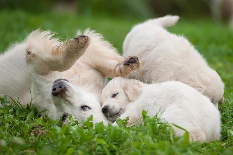 Chiot et maman de golden retriever photographie stock libre de droits
