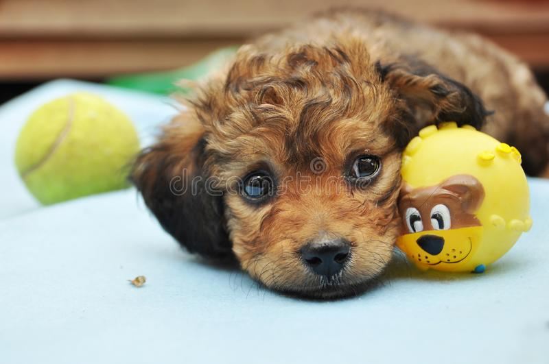 Chiot expressif de yeux image stock