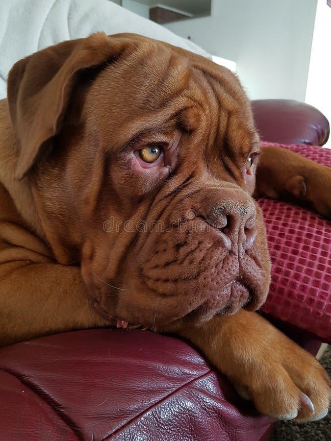 Chiot français de Mastiff photos stock