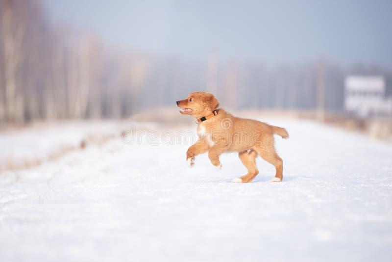 Chiot heureux de toller fonctionnant dehors en hiver image libre de droits