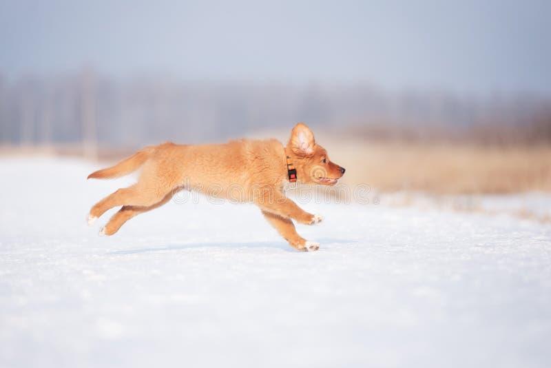 Chiot heureux de toller fonctionnant dehors en hiver images libres de droits