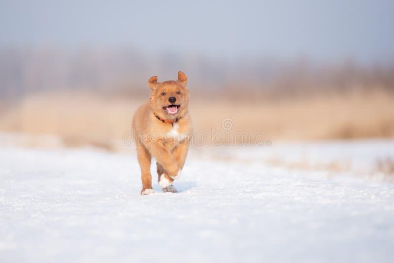 Chiot heureux de toller fonctionnant dehors en hiver images stock