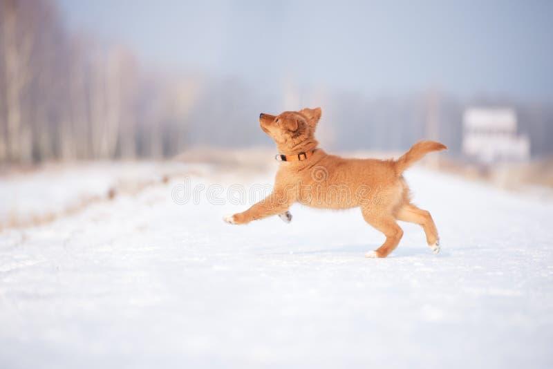 Chiot heureux de toller fonctionnant dehors en hiver photographie stock