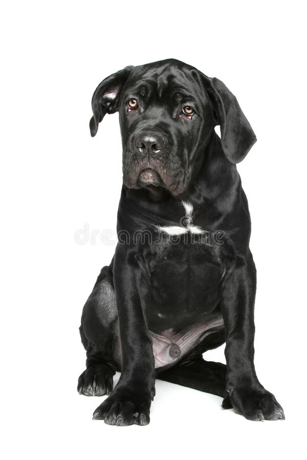 Chiot italien de mastiff sur un fond blanc images stock