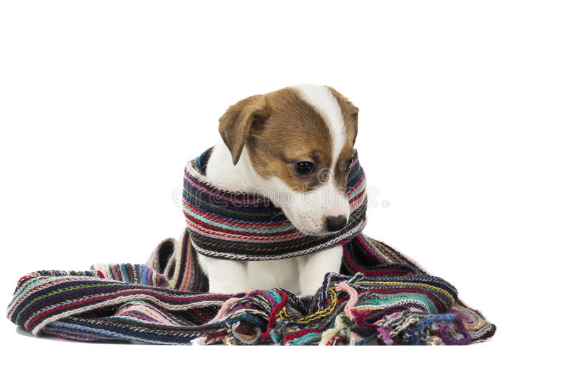 Chiot Jack Russell Terrie images stock