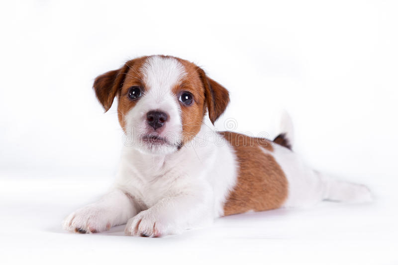 Chiot. Jack Russell Terrier. sur le blanc photos stock