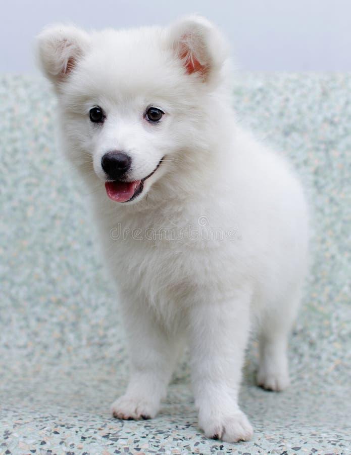 Chiot japonais blanc de Spitz images stock