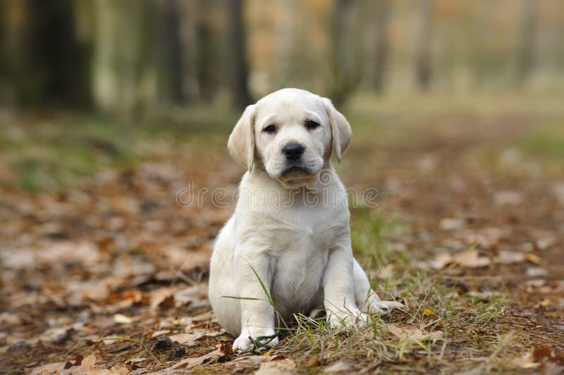 Chiot jaune de chien d'arrêt de Labrador images stock