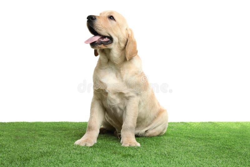 Chiot jaune mignon de labrador retriever sur l'herbe artificielle image libre de droits