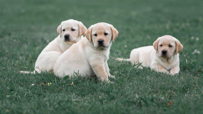 Chiot jaune mignon de trois Labrador se reposant dans l'herbe verte photos stock