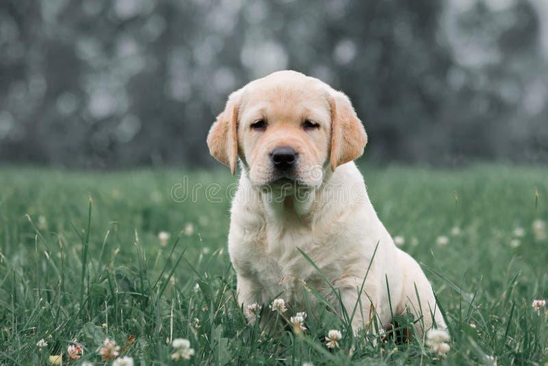 Chiot jaune mignon labrador retriever sur le fond de l'herbe verte photos libres de droits
