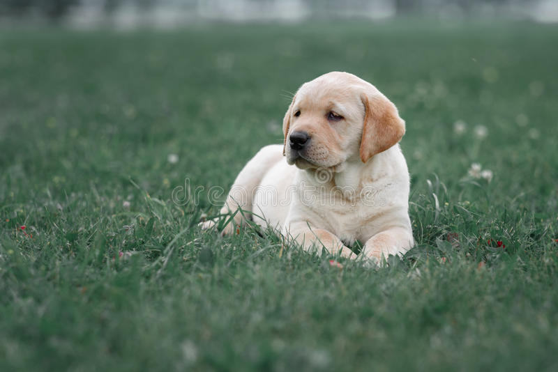 Chiot jaune mignon labrador retriever sur le fond de l'herbe verte photo stock