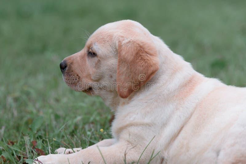 chiot jaune mignon labrador retriever sur un fond d'herbe verte image stock