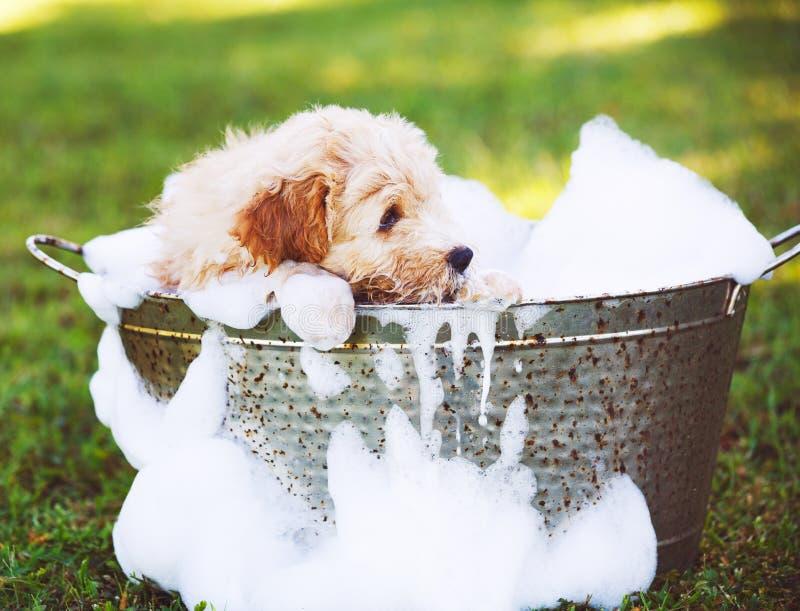 Chiot mignon adorable de golden retriever photo libre de droits