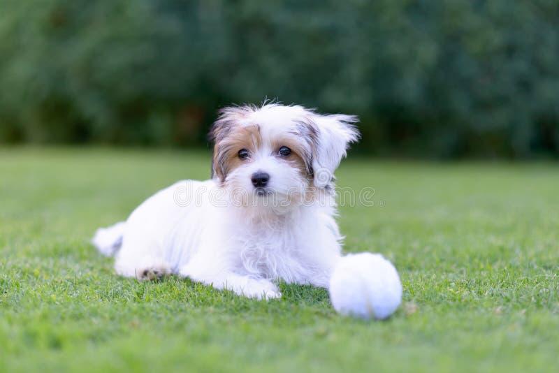 Chiot mignon avec la boule se reposant sur l'herbe verte d'été images stock