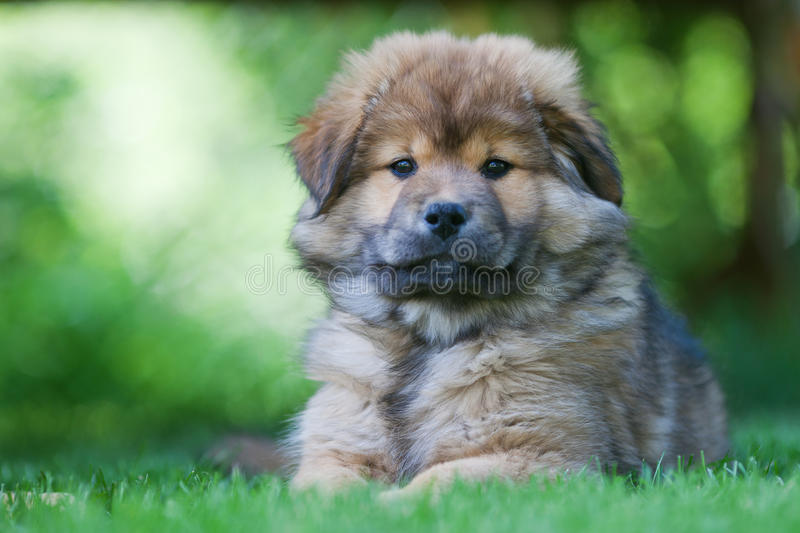 Chiot mignon d'Elo photo stock