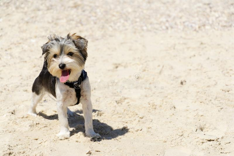 Chiot mignon de Biewer Yorkshire Terrier sur la plage photo libre de droits