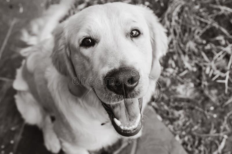 Chiot mignon de chien d'arrêt d'or photo stock