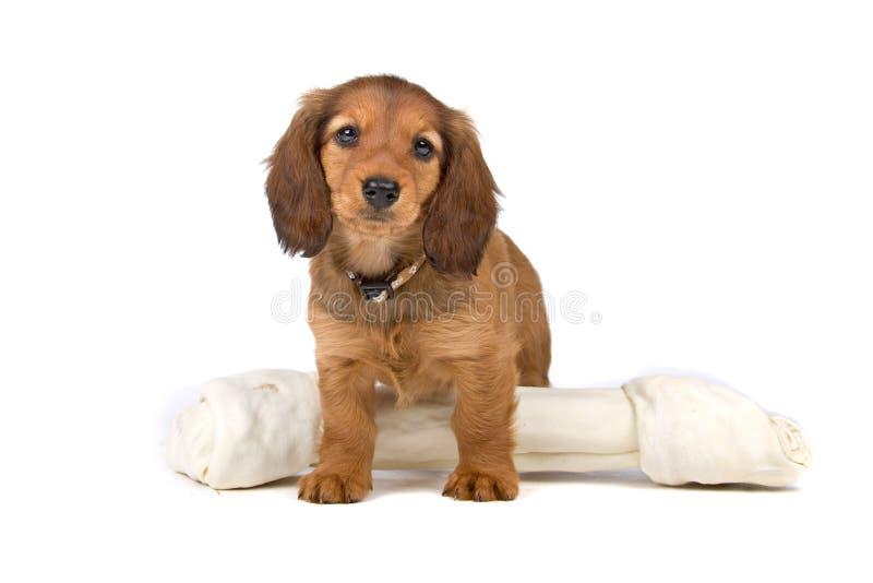 Chiot mignon de dachshund, jouet images stock
