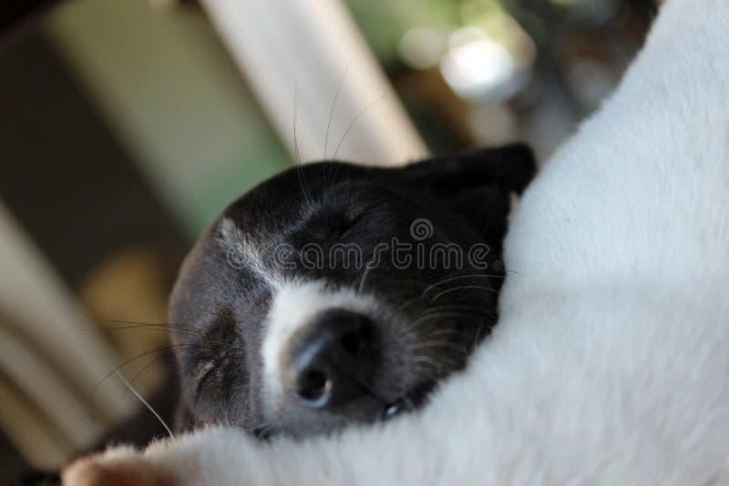 Chiot mignon de sommeil image libre de droits