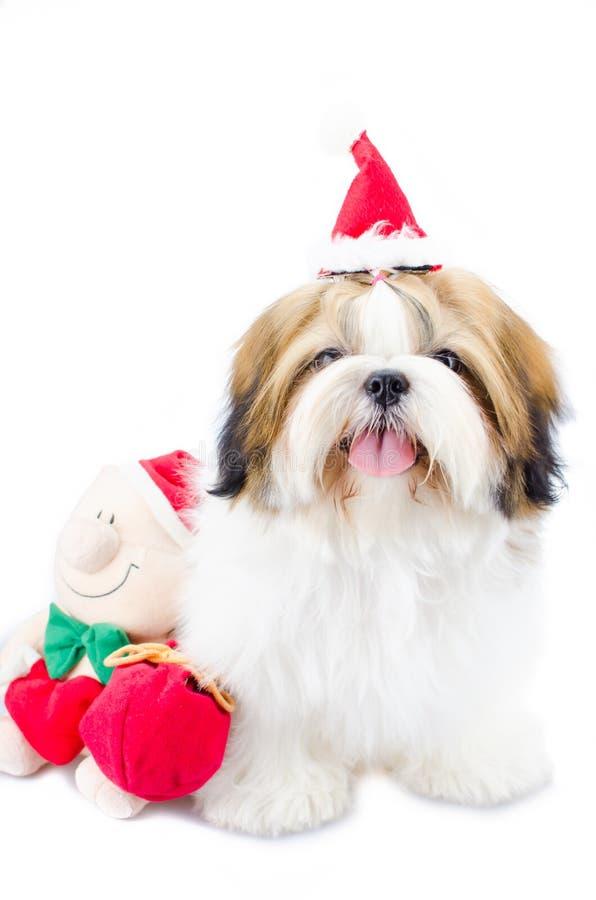 Chiot mignon de tzu de shih dans le thème de Noël photographie stock libre de droits