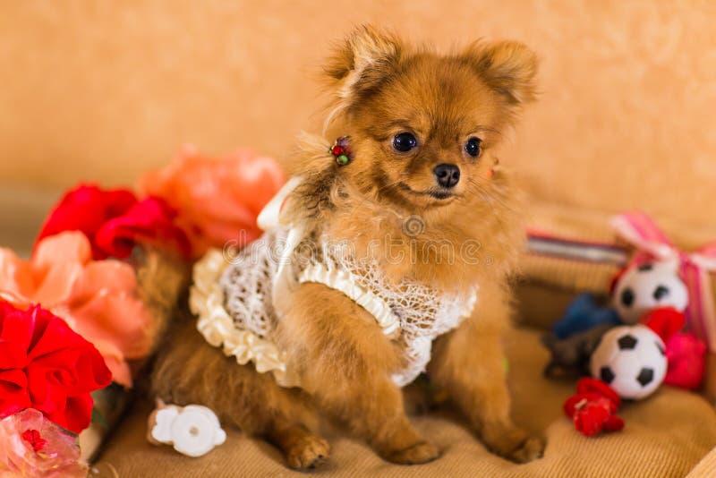 Chiot mignon et drôle Pomeranian souriant sur le fond orange image libre de droits
