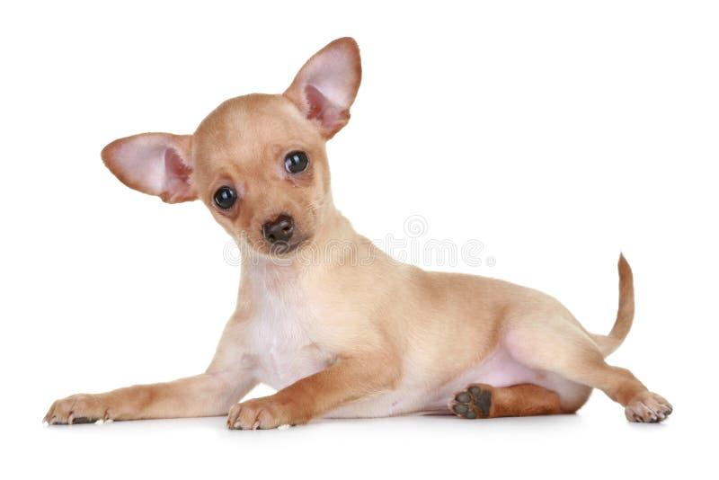 Chiot minuscule de chien terrier de jouet photos stock
