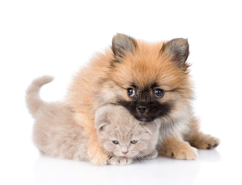 Chiot minuscule de spitz étreignant le chaton écossais D'isolement sur le blanc photo stock