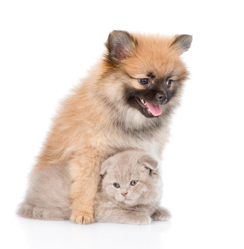 Chiot minuscule de spitz étreignant le chaton écossais D'isolement sur le blanc images libres de droits
