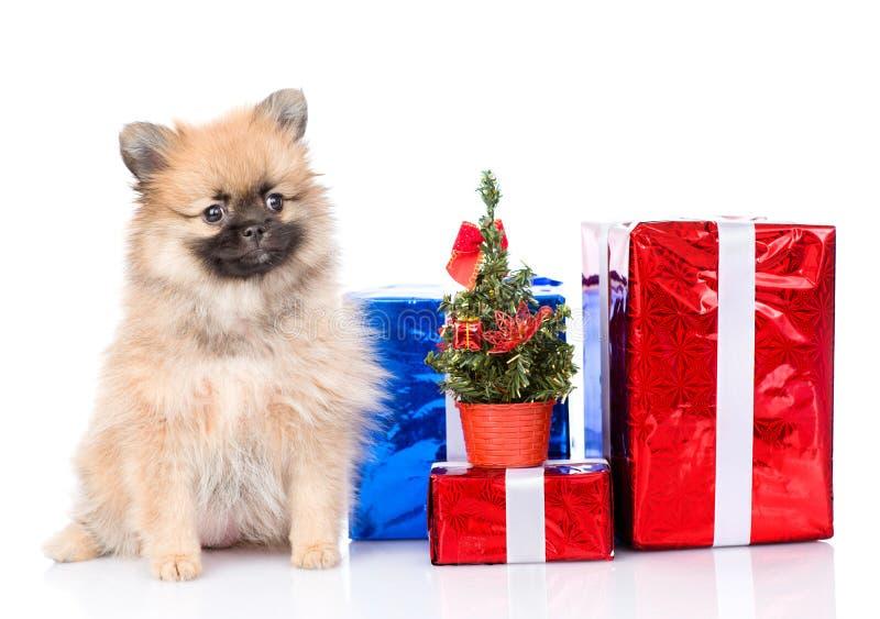 Chiot minuscule de spitz avec l'arbre de boîte-cadeau et de Noël photos stock