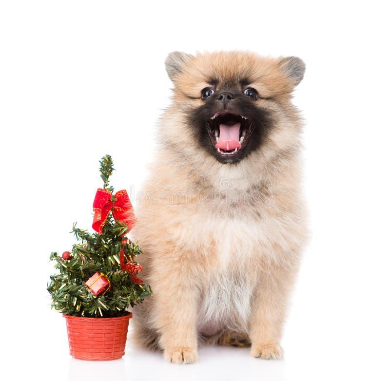 Chiot minuscule de spitz avec l'arbre de Noël D'isolement sur le fond blanc image stock