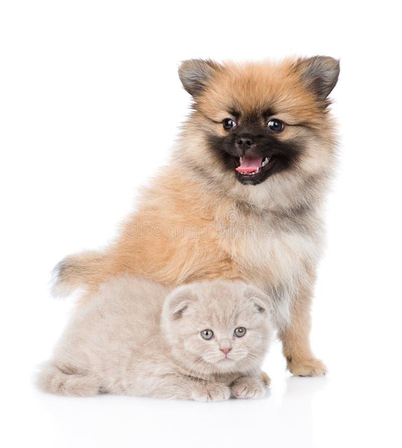 Chiot minuscule de spitz se reposant avec le chaton écossais ensemble D'isolement images libres de droits